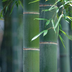 Forest-Bamboo